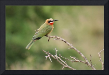 South African Bee Eater on thorn bush
