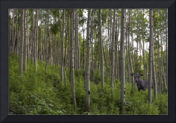 Maroon Bells Images - A Moose Among the Aspen