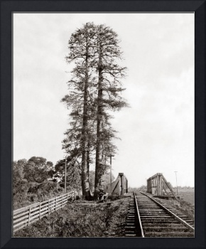 Palo Alto Tall Tree, by Watkins, c1870