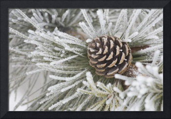 Needles Of A Pine Tree And A Pine Cone Covered In
