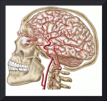 Anatomy of human skull, eyeball and arteries to br