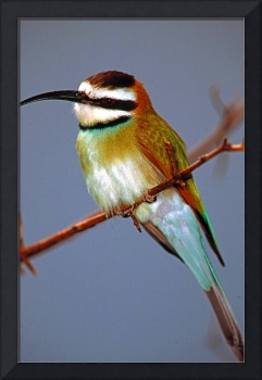 Green African Bee Eater Bird