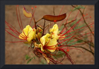 Wild Mesquite - Texas Wildflower