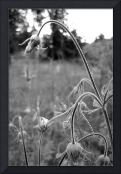 Wild flowers in black and white