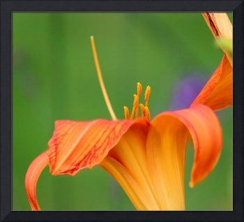 Orange Daylily Macro