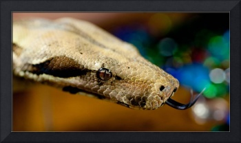 Boa Constrictor guarding jewels