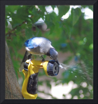 Bluejay cooling off with a drink from a hose