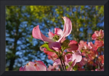 Botanical Forest Art Prints Pink Dogwood Flowers