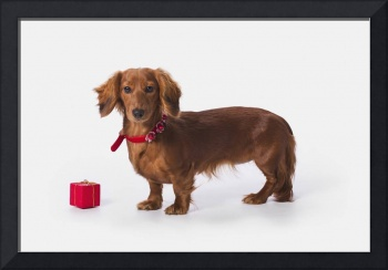 A Longhair Red Dachshund With A Small Red Box