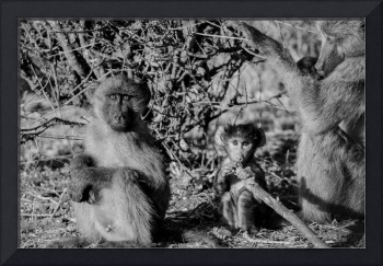 Baboon Family in Black and White