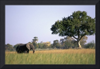 Elephant Grazing In Water Meadows, Botswana