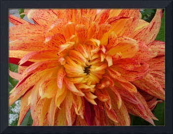 Gold and red flecked Dahlia