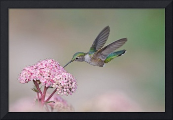 Broad-tailed Hummingbird Visit