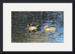 Colorful Pair of Wood Ducks IMG_3479 by Jacque Alameddine