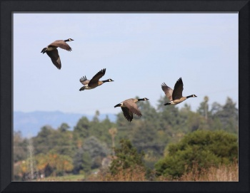 Flight of the Canada Geese