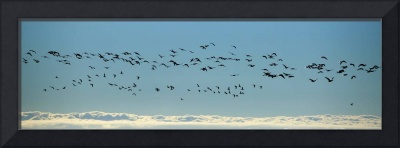 Flock of geese flying over the sea Iceland
