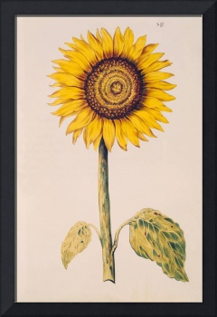 Sunflower or Helianthus, from La Guirlande de Juli