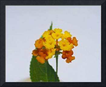 Yellow lantana flower