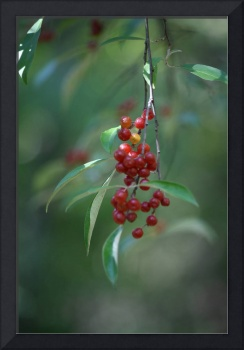 Wild Red Berry