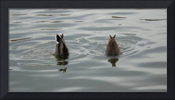 2 Ducks in Water