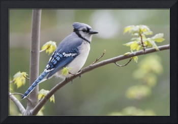 Blue Jay Perched On Budding Maple Tree In Springti