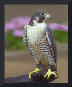 Yellow Footed Falcon
