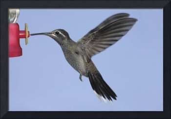Blue-Throated Hummingbird Photograph