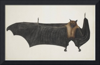 Vintage Indian Fruit Bat Illustration (1782)