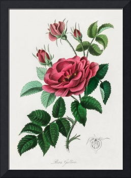 Vintage Botanical French rose