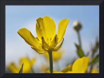 A Yellow Buttercup Against A Blue Sky Northumberl