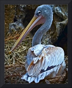 Pink-Backed Pelican (0067-2)