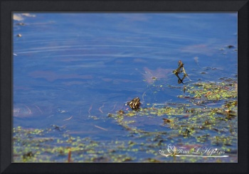 Painted Turtles 20120416_183a