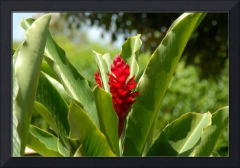 Cayman Islands : Red Ginger Lily
