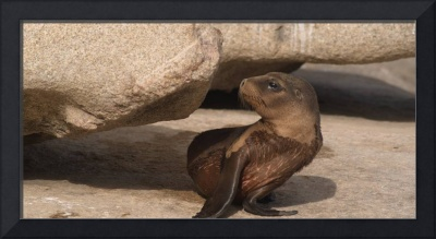Australian Sea Lion Pup