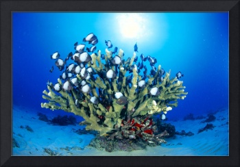 Hawaiian Reef Scene With Antler Coral And Reef Fis