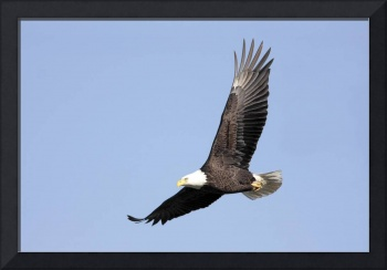 Bald Eagle Photograph