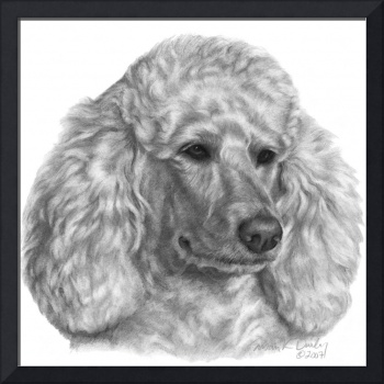 Holly, Standard Poodle
