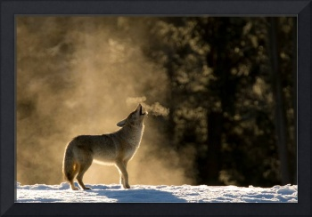 Coyote Howling, Yellowstone National Park,USA