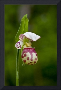 Close up of Lady Slipper in bloom at the Anchorage
