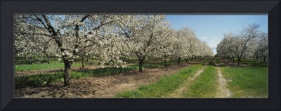 Dirt road passing through a cherry orchard