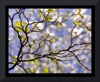 Tiffany Dogwood (White Dogwood Flowers with Blue)