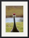 Sandhill Crane  0827 by Jacque Alameddine