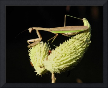 Praying Mantis & Milkweed Seedpods No1