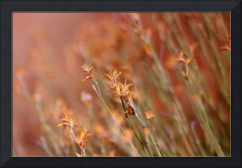 Orange Dream Grass