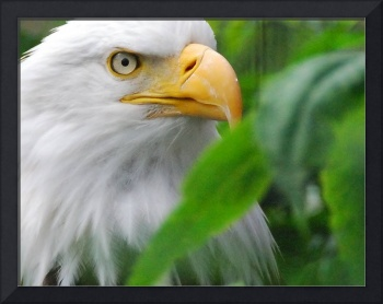 Adonis the Bald Eagle
