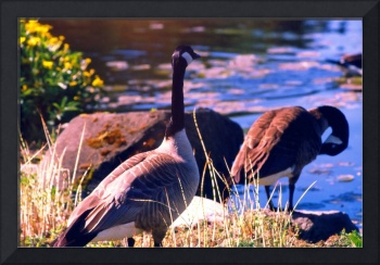 Wedded Bliss, Canada Geese in Springtime