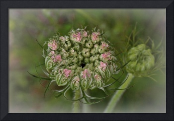 Queen Anne's Lace lV