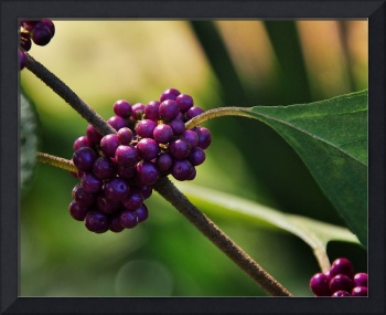 American Beautyberry II