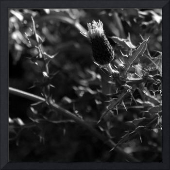 Thistle    0770 Black and White Edition
