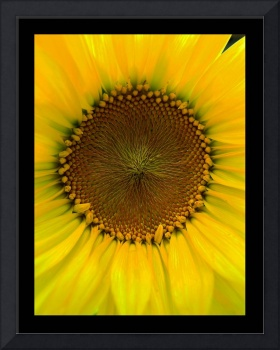 Sunflower Shining